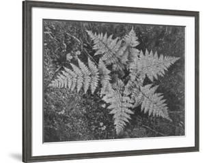 "Of Ferns From Directly Above ""In Glacier National Park"" Montana. 1933-1942 by Ansel Adams"