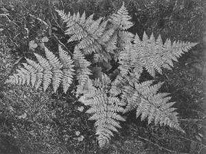 """Of Ferns From Directly Above """"In Glacier National Park"""" Montana. 1933-1942 by Ansel Adams"""