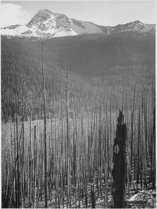 "Pine Trees Snow Covered Mts In Bkgd ""Burned Area Glacier National Park"" Montana 1933-1942 by Ansel Adams"