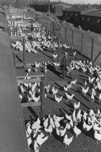 Poultry Farm by Ansel Adams