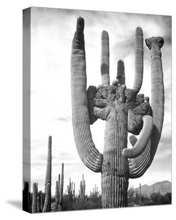 Saguaro National Monument, Arizona, ca. 1941-1942