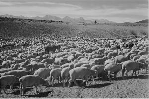 "Sheep ""Flock In Owens Valley 1941."" 1941 by Ansel Adams"