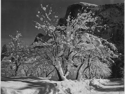 "Trees With Snow On Branches ""Half Dome Apple Orchard Yosemite"" California. April 1933. 1933"