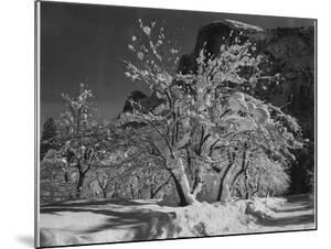 """Trees With Snow On Branches """"Half Dome Apple Orchard Yosemite"""" California. April 1933. 1933 by Ansel Adams"""