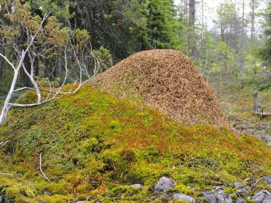 Ant Hill, Kuusamo Area, Northeast Finland Photographic Print by Philippe  Henry | Art com