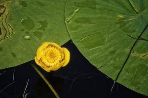 Lily pad on pond, 2020, (photograph) by Ant Smith