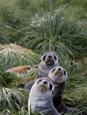 https://imgc.artprintimages.com/img/print/antarctic-fur-seals-arctocephalus-gazella-husvik-island-antarctic-polar-regions_u-l-pfpcj00.jpg?p=0