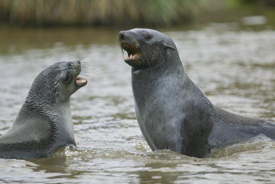 Antarctic Fur Seals Playing in Shallow Water-DLILLC-Photographic Print