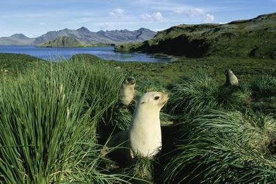 https://imgc.artprintimages.com/img/print/antarctic-fur-seals-relaxing-in-tussock-grass_u-l-pzmmch0.jpg?p=0
