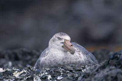 Antarctic Giant Petrel on Nest-DLILLC-Photographic Print