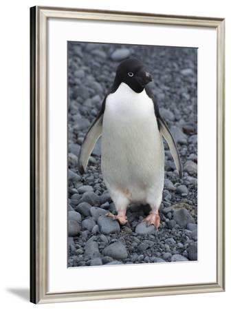Antarctica. Brown Bluff. Adelie Penguins, Pygoscelis Adeliae-Inger Hogstrom-Framed Photographic Print