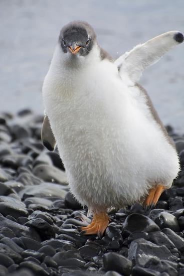 Antarctica. Brown Bluff. Gentoo Penguin, Pygoscelis Papua, Chick-Inger Hogstrom-Photographic Print