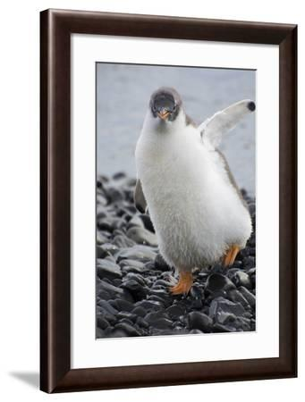 Antarctica. Brown Bluff. Gentoo Penguin, Pygoscelis Papua, Chick-Inger Hogstrom-Framed Photographic Print