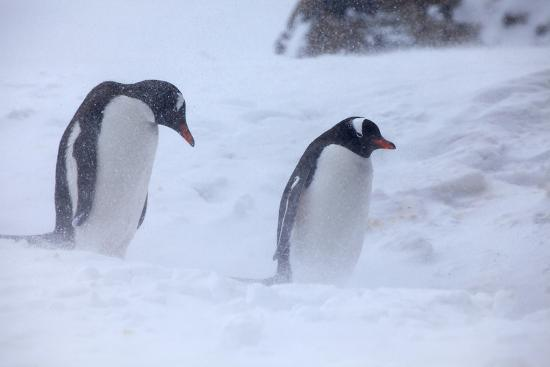 Antarctica, Brown Bluff, Gentoo Penguins in Snow Storm-Hollice Looney-Premium Photographic Print