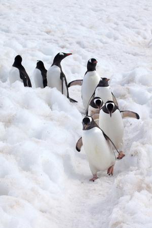 https://imgc.artprintimages.com/img/print/antarctica-cuverville-island-gentoo-penguins-walking-through-the-snow_u-l-q1bljfv0.jpg?p=0