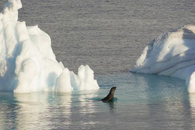 Antarctica. Gerlache Strait. Crabeater Seal and an Iceberg-Inger Hogstrom-Photographic Print