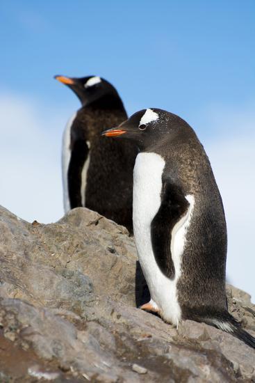 Antarctica. Neko Harbor. Gentoo Penguin, Pygoscelis Papua, Colony-Inger Hogstrom-Photographic Print