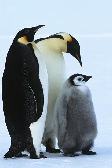 Antarctica Weddel Sea Atka Bay Emperor Penguin Family-Nosnibor137-Photographic Print