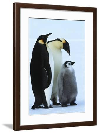 Antarctica Weddel Sea Atka Bay Emperor Penguin Family-Nosnibor137-Framed Photographic Print