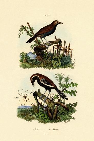 Antbirds, 1833-39--Giclee Print