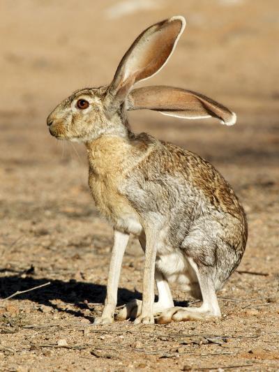 Antelope Jackrabbit. Largest of the North American Hares, Arizona-Richard Wright-Photographic Print