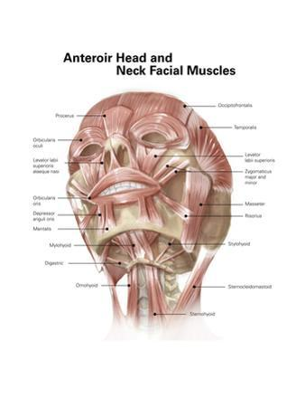 Anterior Neck and Facial Muscles of the Human Head (With Labels)