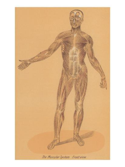 Anterior View of Human Musculature--Art Print
