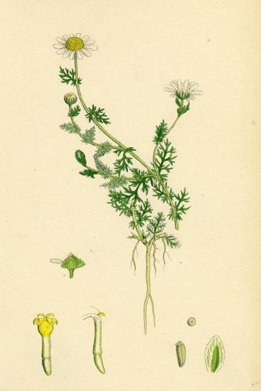 Anthemis Nobilis Common Chamomile--Giclee Print
