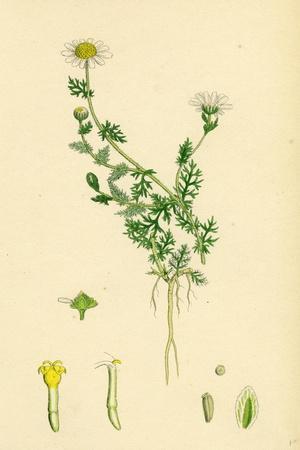 https://imgc.artprintimages.com/img/print/anthemis-nobilis-common-chamomile_u-l-pvfuly0.jpg?p=0
