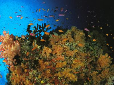 Anthias and Other Fish Swim Near a Reef Wall Covered with Soft Coral-Tim Laman-Photographic Print
