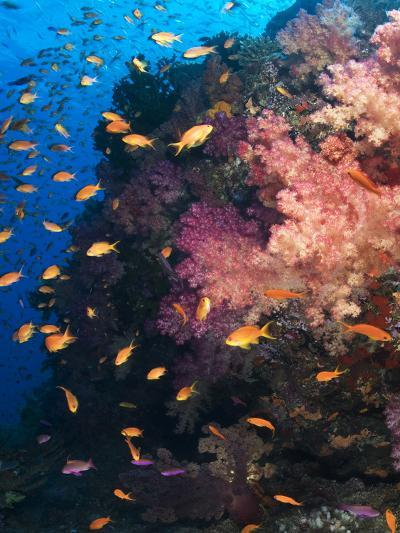 Anthias Schooling around a Soft Coral Garden-Mauricio Handler-Photographic Print