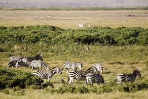 Kenya, Amboseli National Park, Group of Zebras by Anthony Asael