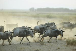 Kenya, Amboseli National Park, Wildebeest Running at Sunset by Anthony Asael