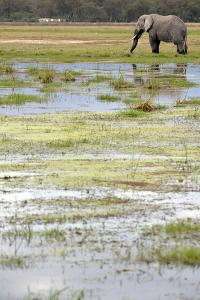 Kenya, Amboseli NP, Elephants in Wet Grassland in Cloudy Weather by Anthony Asael