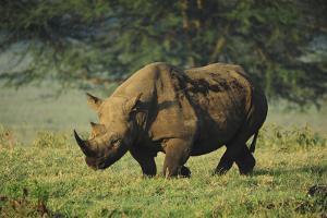 Kenya, Lake Nakuru NP, White Rhinoceros or Square-Lipped Rhinoceros by Anthony Asael