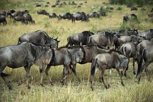 Kenya, Masai Mara National Reserve, Wildebeest Walking by Anthony Asael