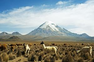 Llamas with snowcapped volcano Sajama, Sajama National Park, Bolivia by Anthony Asael
