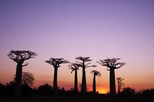 Madagascar, Morondava, Baobab Alley, Adansonia Grandidieri at Sunset by Anthony Asael