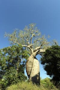 Madagascar, Morondava, Baobab Alley, Lovers Baobab, Le Baobab Amoureux by Anthony Asael