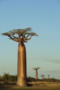 Madagascar, Morondava, Baobab Alley, View on Adansonia Grandidieri by Anthony Asael