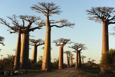 Madagascar, Morondava, Baobab Alley, View on Adansonia Grandidieri-Anthony Asael-Photographic Print