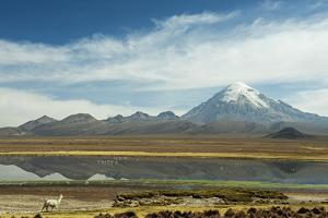 Snowcapped volcano Sajama with flamingos foreground, Sajama National Park, Bolivia by Anthony Asael