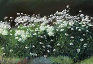 Shasta Daisies by Anthony Rule