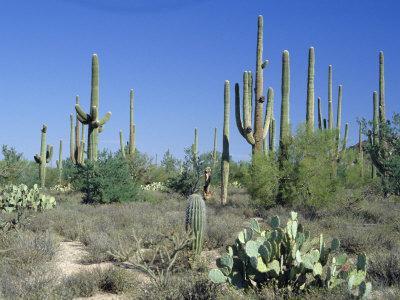 Saguaro Organ Pipe Cactus and Prickly Pear Cactus, Saguaro National Monument, Tucson, Arizona, USA