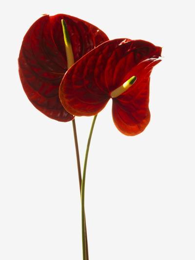 Anthurium--Photographic Print