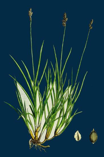Anthyllis Vulneraria; Common Kidney Vetch--Giclee Print