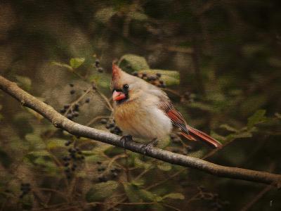 Anticipating Winter Cardinal 2-Jai Johnson-Giclee Print