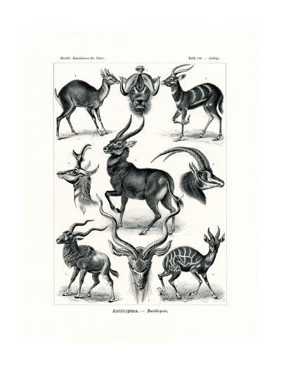 Antilopina, 1899-1904--Giclee Print