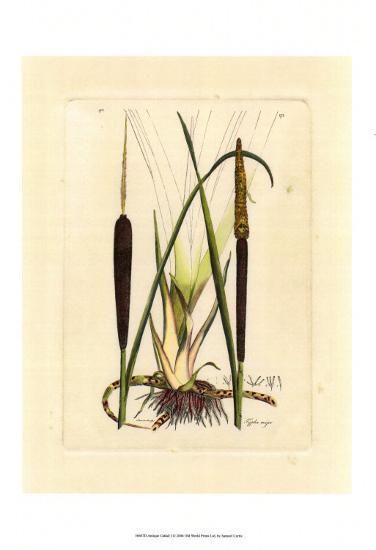 Antique Cattail I-Samuel Curtis-Art Print