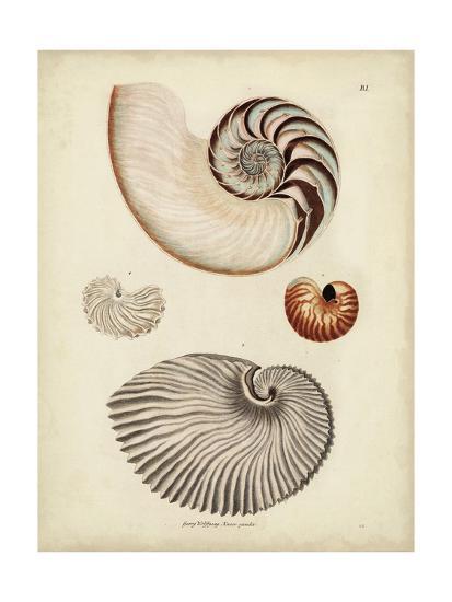 Antique Nautilus II-George Wolfgang Knorr-Art Print